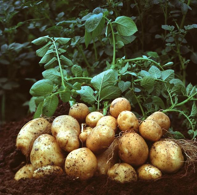 Khoai tây giúp sản xuất collagen